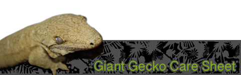 New Caledonian Giant Gecko Care Sheet